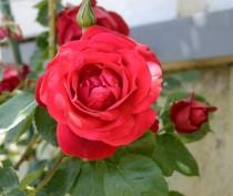Никитский ботсад впервые откроет отдельную выставку собственных сортов роз