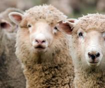 Французский фермер планирует реализовать в Крыму крупный проект по развитию овцеводства
