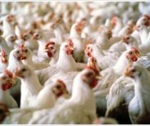 Крупнейшее птицеводческое предприятие Крыма сократило выпуск продукции