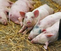 Африканская чума свиней распространилась на Белогорский район Крыма