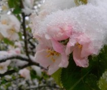 Выпавший в Крыму снег не повредил урожаю плодовых культур – минсельхоз