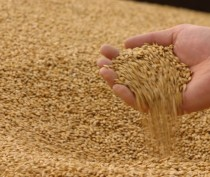 Крымские аграрии закончили уборку рекордного урожая ранних зерновых