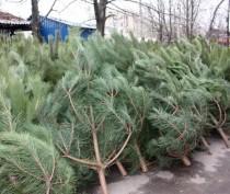 Новости Феодосии: В Феодосии организуют шесть пунктов продажи новогодних елок