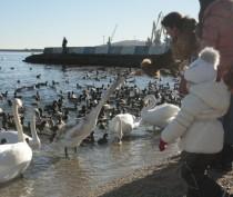 Новости Феодосии: Феодосийцы оказывают «медвежью» услугу лебедям