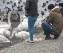 Новости Феодосии: Набережная сегодня: Феодосийцы продолжают кормить лебедей хлебом