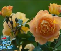 Новости Феодосии: Розы Феодосии