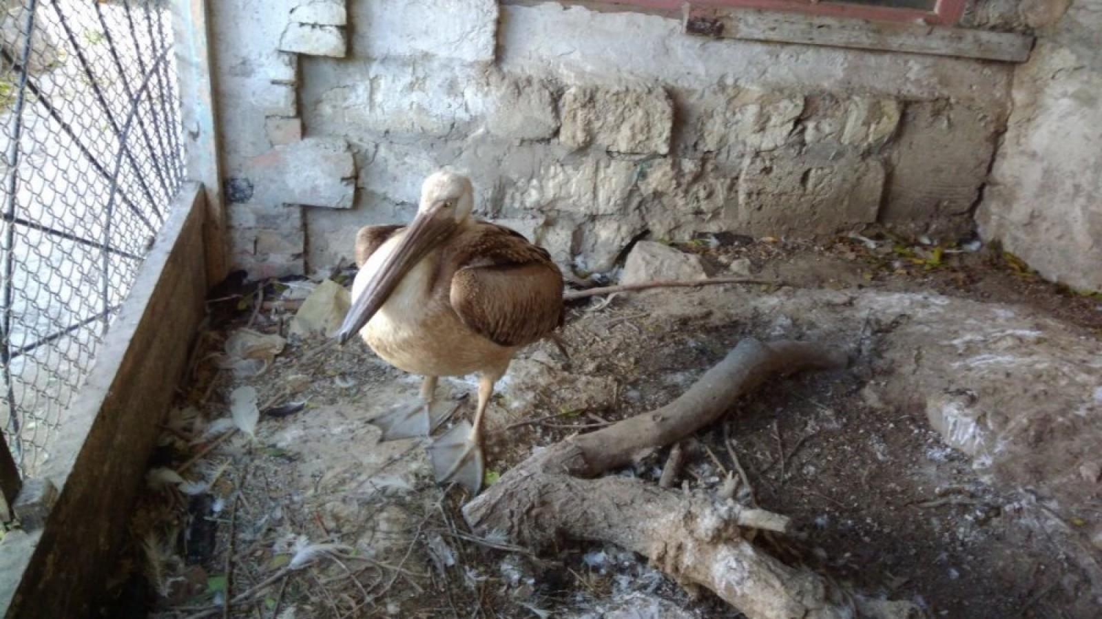 Краснокнижного птенца пеликана спасли вФеодосии