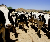 Трое фермеров из Приморского заплатят штрафы за неправильное хранение навоза